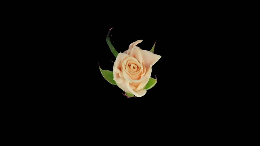 """Endless time-lapse of opening and closing """"Medeo"""" rose 2c"""