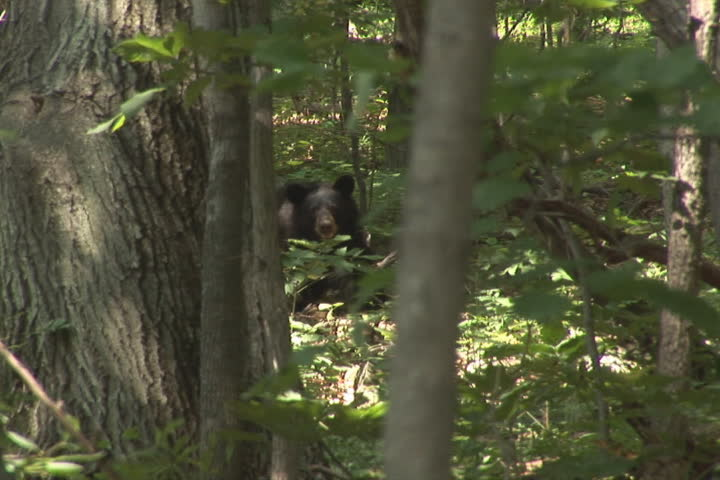 Bear looking towards camera. Shot on the Skyline Drive, Virginia. - SD stock video clip