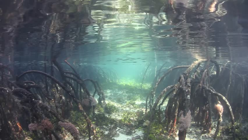 Mangrove roots reach into shallow water in Raja Ampat, Indonesia. This remote region is known for its spectacular marine biodiversity and beautiful diving and snorkeling.