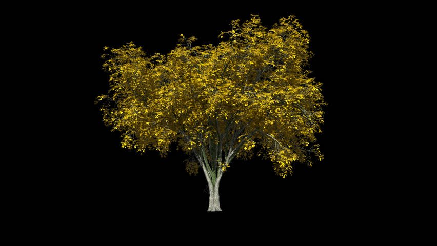 High quality 10bit animated video of tree on the gentle wind with Alpha Channel.