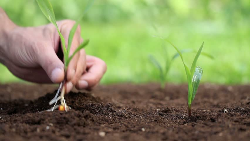 hands planting a seed and Watering - HD stock video clip
