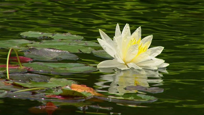 Lily pads in koi pond stock footage video 1036852 for Koi pond hd
