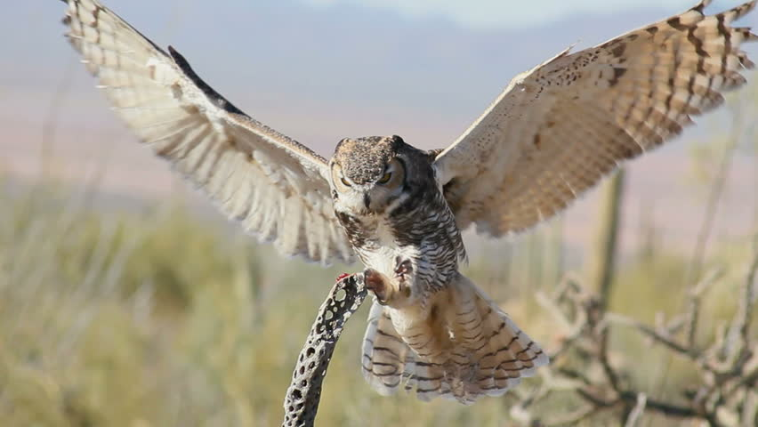Great Horned owl, wings extended, lands on branch of dead cholla cactus, eats treat, flies away. 1080p - HD stock footage clip