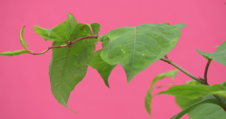 Wind in Green Leaves, Branch of Young Leaves Closeup, wavering, leaves fluttering,pink background,chromakey, Chroma Key, Alfa, studio, outdoor,summer, day