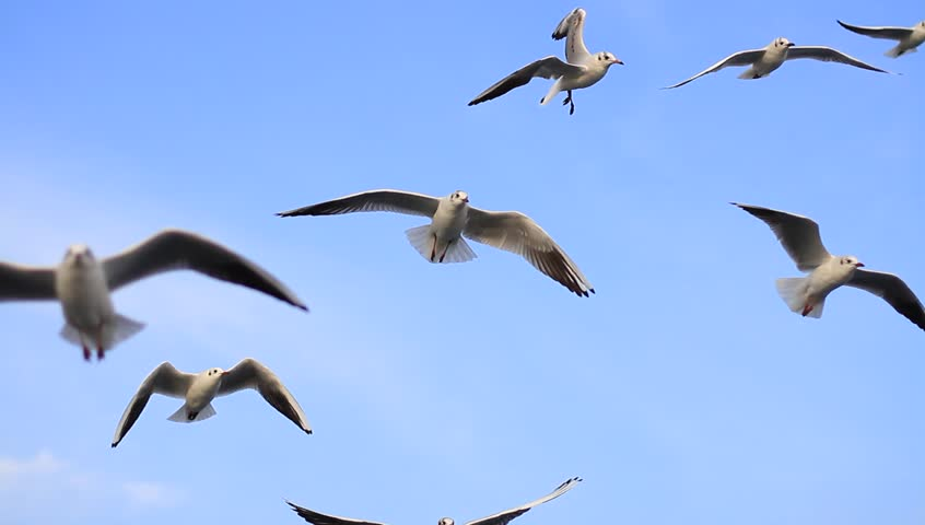 Flock of birds flying in the blue sky. A group of seagulls in flight close to the camera