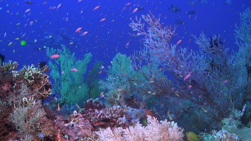 Colorful coral reef in Philippines with healthy hard corals. Snapper, Grouper, Damselfish, Anthias and Angelfish