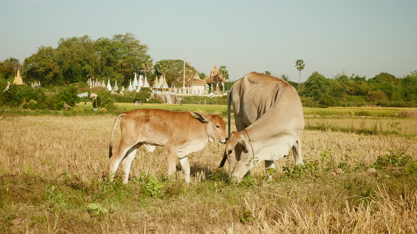 Baby cow licking his mother in a dry paddy field.  Buddhist temples in the background, southeast asia, cambodia