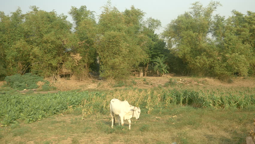 Cow eats grass on knees in a field, southeast asia, cambodia