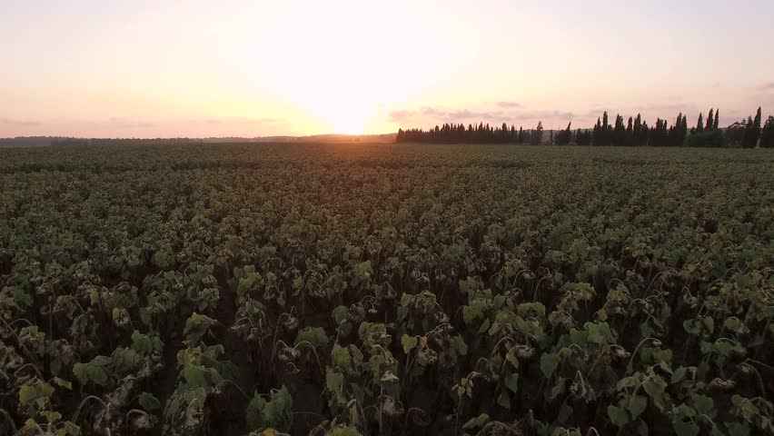 AERIAL: Flight over the green plants field in sunset.