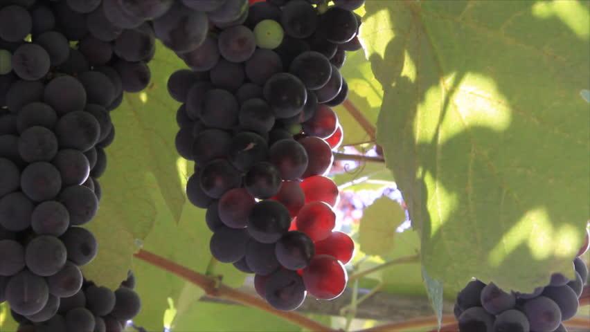 Sunbeams on bunches of grapes dark berries in vineyard