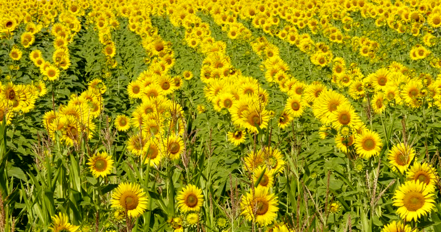 sunflower field picture blooming - photo #4