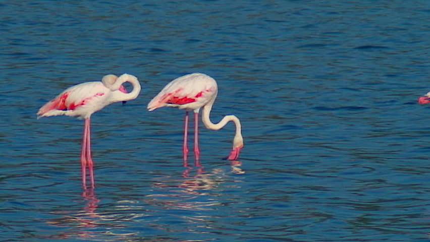 Flamingos - Italy Sardegna