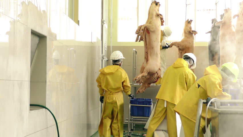 Veterinary commissioner inspecting pork carcasses quality after evisceration in a slaughterhouse, static shot