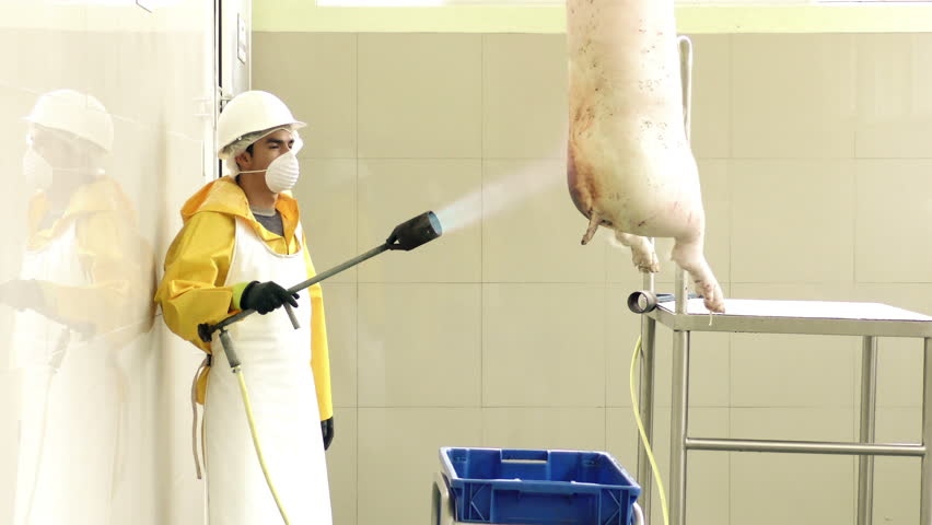 Worker in slaughterhouse removes remaining hair from pig carcass using a gas blow torch