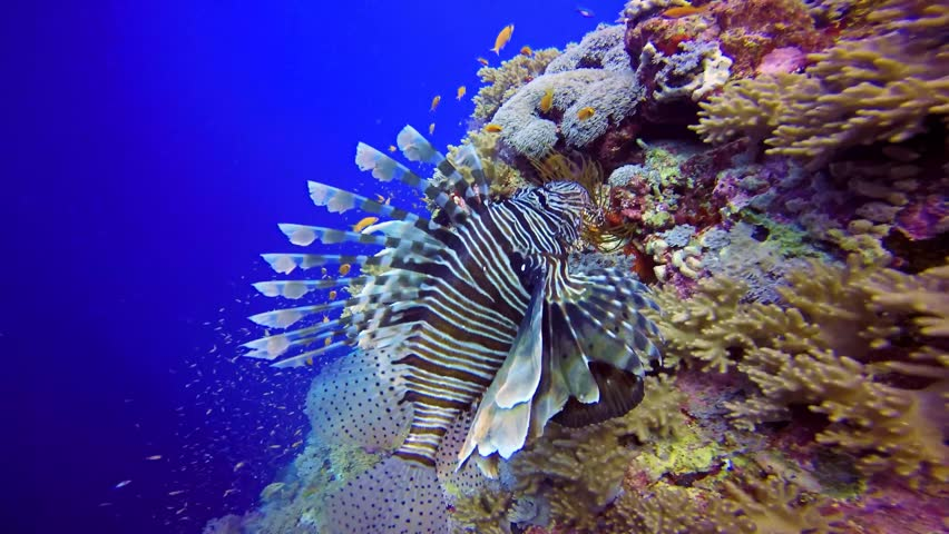 effect of lion fish on reefs The red lionfish (pterois volitans) is a venomous coral reef fish in the family scorpaenidae, order scorpaeniformes p volitans is natively found in the indo-pacific region, but has become an invasive problem in the caribbean sea, as well as along the east coast of the united states.