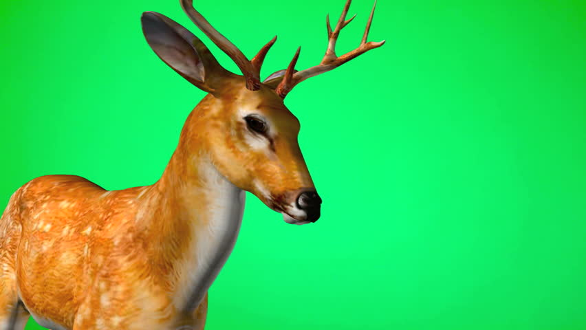 Closeup animation of Reindeer - two year old white tailed buck on green screen. illustration
