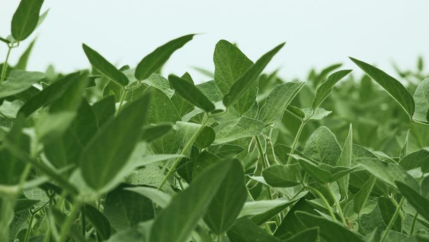 Green soybean crops in field, young green soya bean plants growing on organic farm plantation, 4k uhd footage