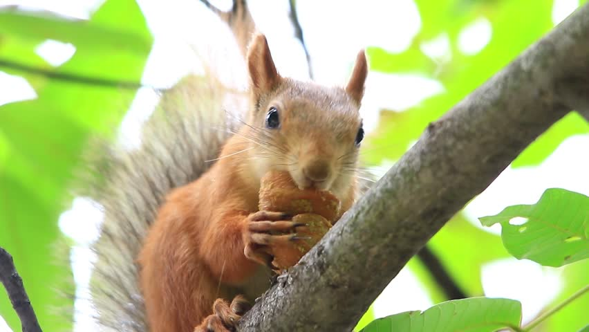squirrel eats nuts on a tree in the wood - HD stock footage clip