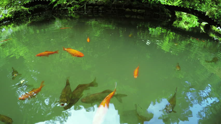 Colorful fish swimming circling in pond with reflections for Colorful pond fish