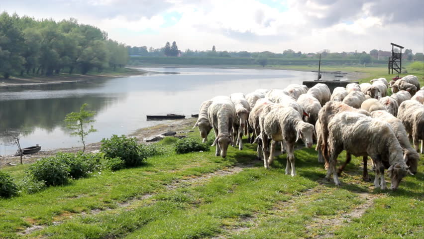 Sheep graze along the river - HD stock video clip