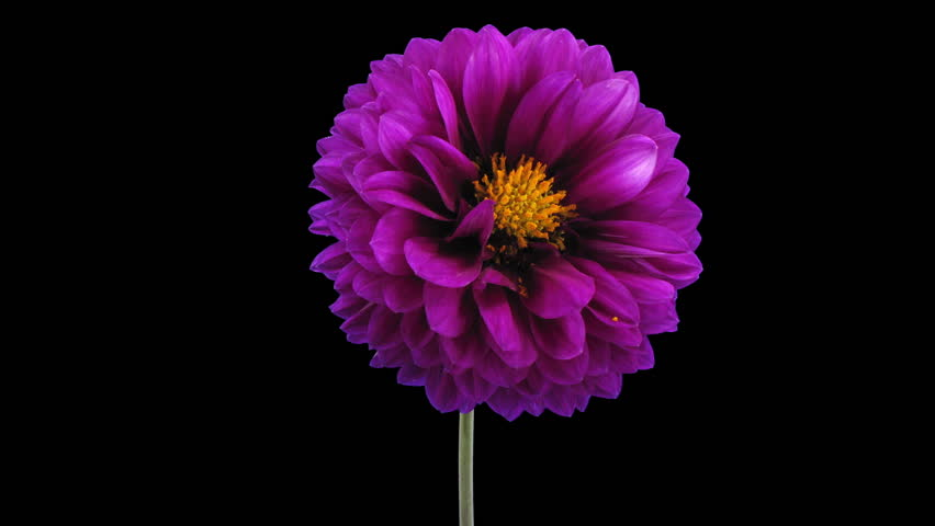 Time-lapse of dying purple dahlia flower 4x3 in RGB + ALPHA matte format isolated on black background