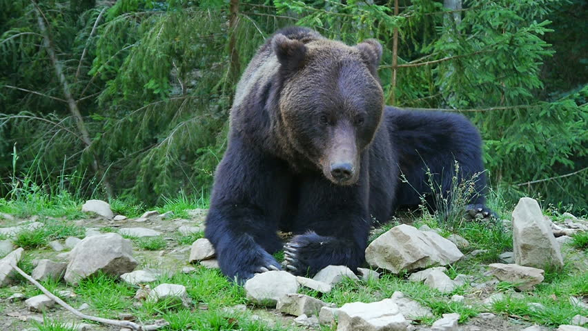 A big black bear in the forest