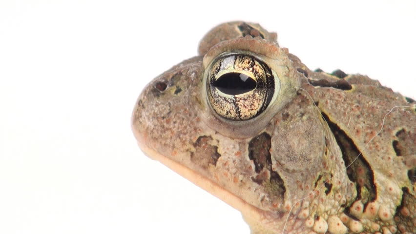 Toad sitting on a white background - HD stock footage clip