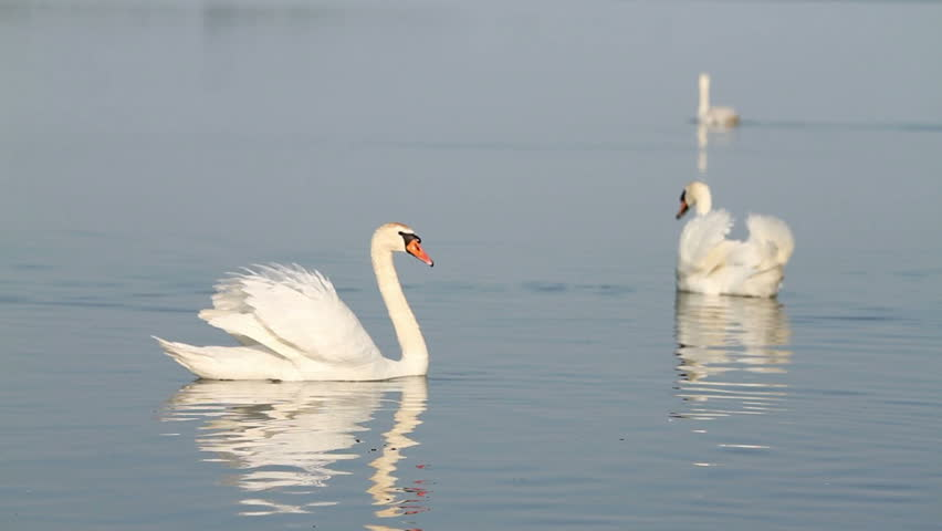 White swans on the water - HD stock footage clip