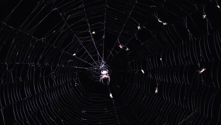 Spider at night on the hunt.
