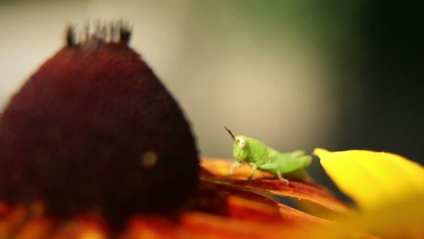 little grasshopper on flower time lapse