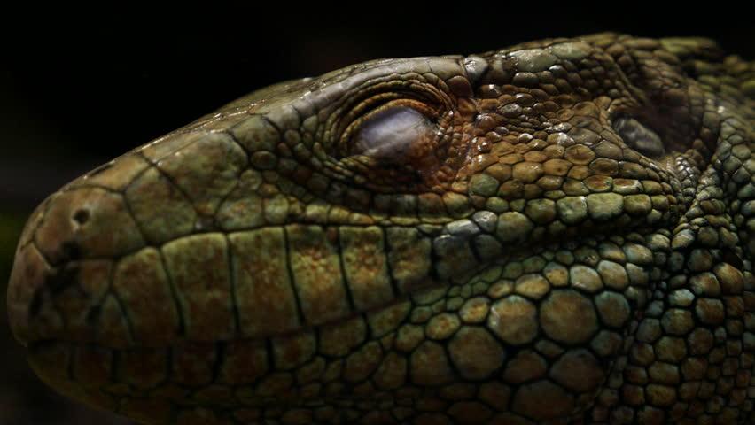 Header of alligator lizard