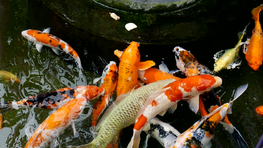Many fish swim in the pool stock footage video 8811547 for Koi carp pool