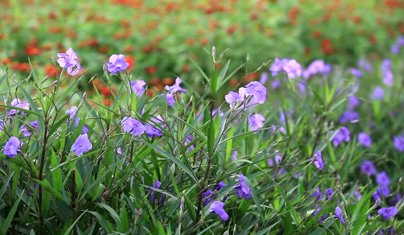 Header of Acanthaceae