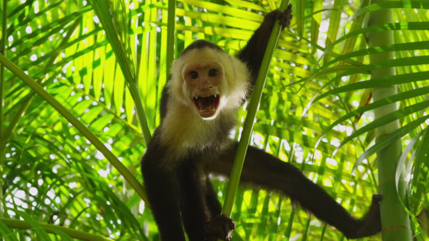 Cinemagraph - Capuchin Monkey in natural habitat: Manuel Antonio, Costa Rica. Looping Motion Photo.