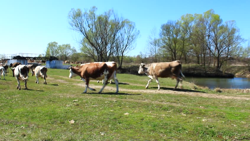 cows comes back from pasture