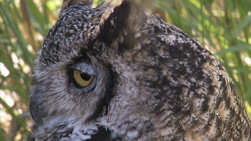 hd great horned owl - photo #8