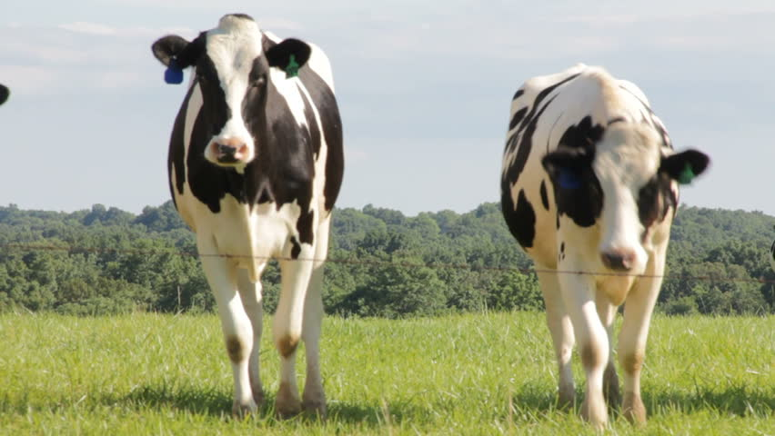 Dairy cows in field walk towards the camera