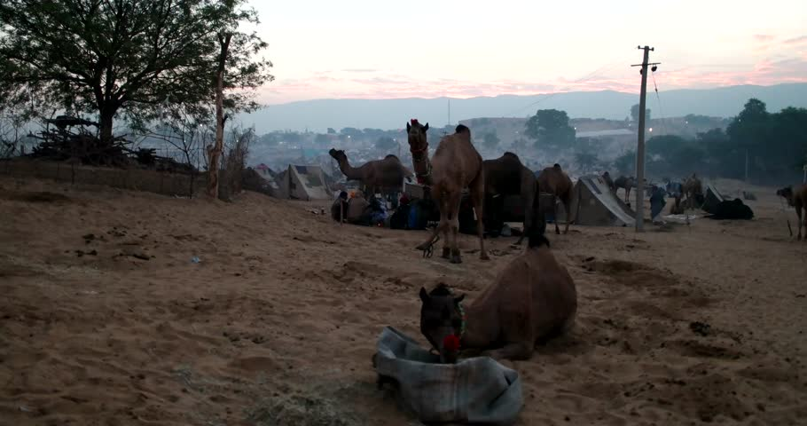 Pushkar, India-Circa November 2015:Camel and camel trader an early morning during Camel Fair in Pushkar 2015. Farmers and traders from all over Rajasthan flock for the annual fair.  - 4K stock video clip