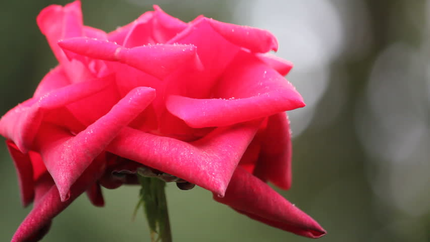 rain falling on red rose  - HD stock footage clip
