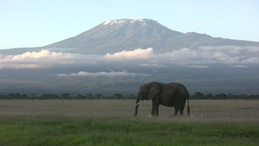 Elephant feeding beneath Mount Kilimanjaro mountain