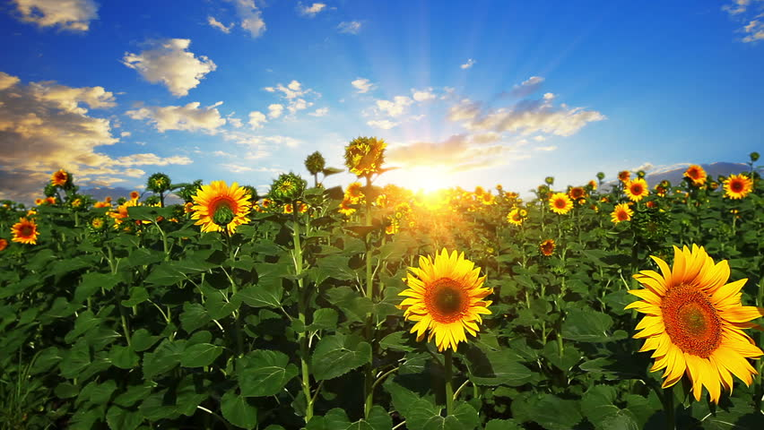 flowering sunflowers on a background sunset - HD stock video clip