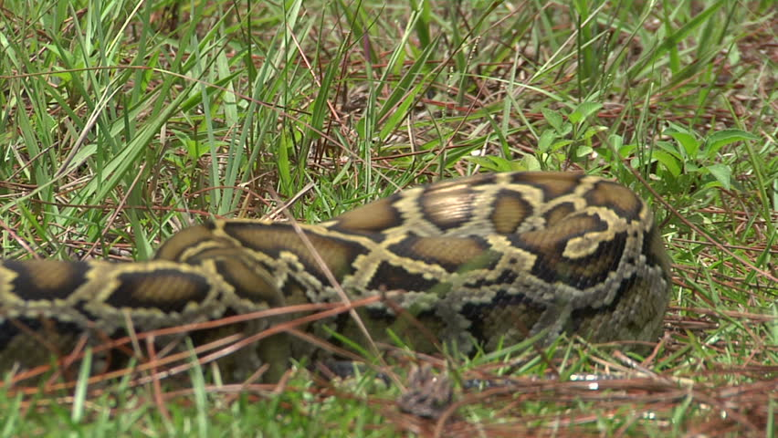 Aggressive Python Striking - HD stock video clip
