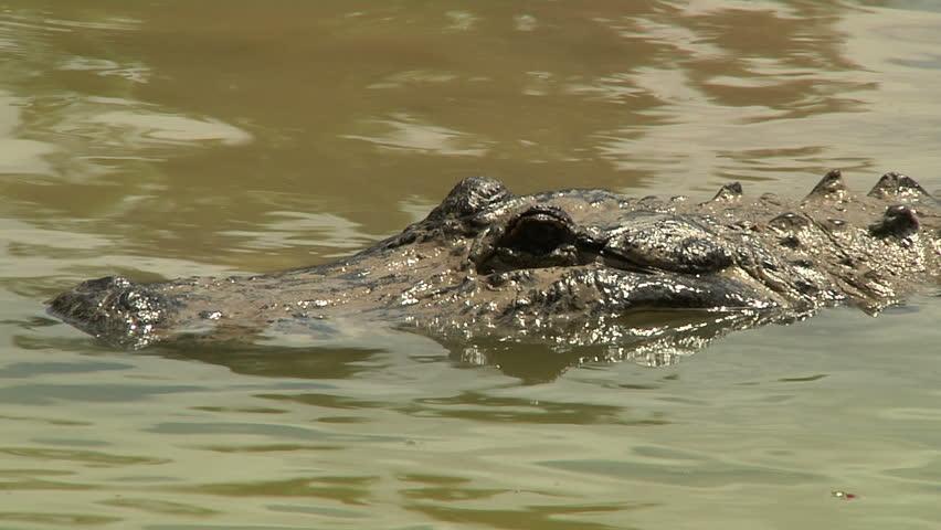 Alligator Detail Shot - HD stock video clip