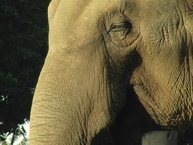 A close-up view of an Elephant in warm light. - SD stock video clip