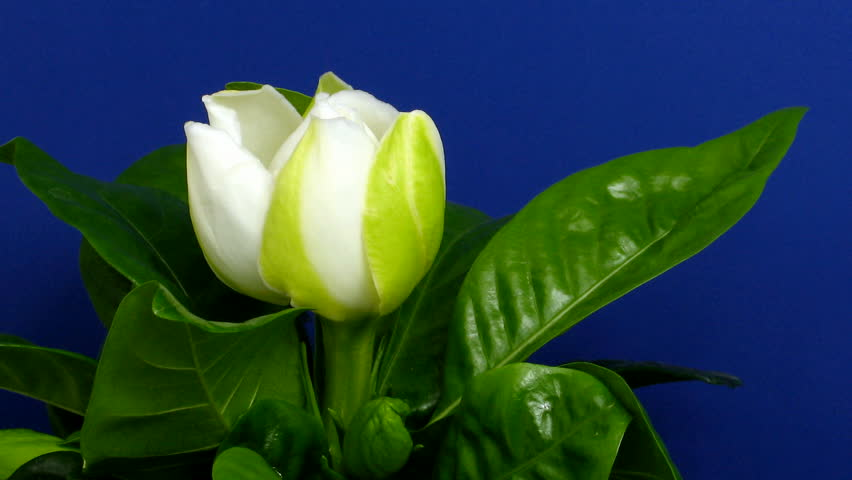 Time-lapse of gardenia flower opening 2