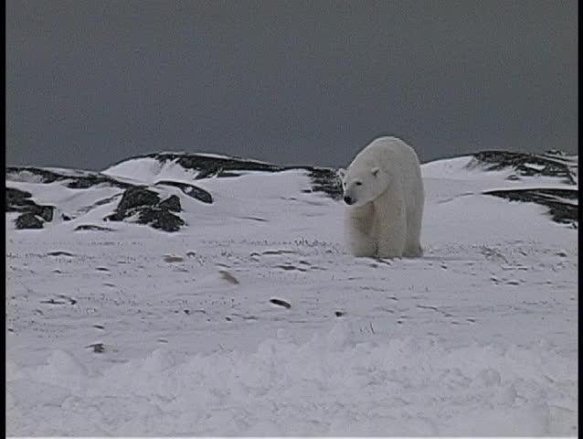 polar bears walk near a snow-covered shoreline in Churchill, Alaska.