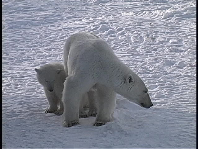 A polar bear and two cubs cautiously look around in an arctic wilderness in Churchill, Alaska
