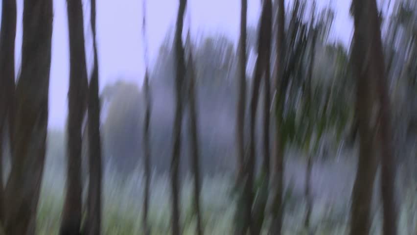 A male silverback gorilla walks with babies through the jungles of Rwanda. - HD stock footage clip