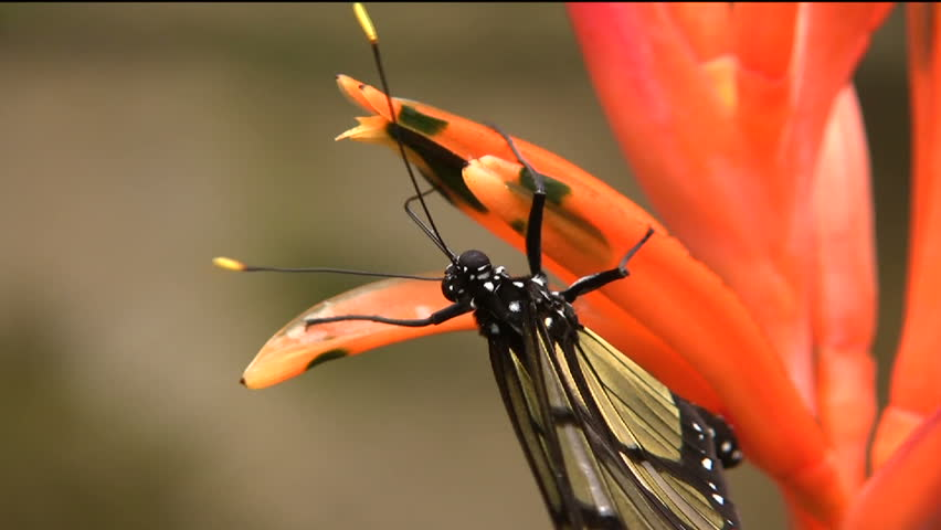 Transparent butterfly Metona sp. Feeding on a flower In the Ecuadorian Amazon - HD stock footage clip