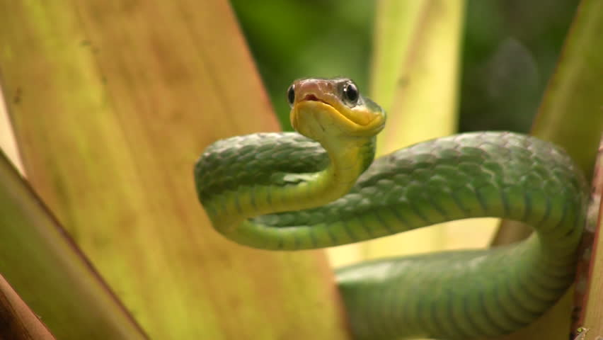 Cloudforest whipsnake (Chironius monticola). In cloudforest in western Ecuador
